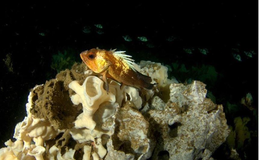 Oceans Act enforces glass sponge reef marine protected area regulations